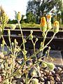 Crepis foetida subsp. rhoeadifolia sl2.jpg