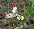 Crimson Tip (Colotis danae) on Coat buttons (Tridax procumbens) W IMG 0605.jpg