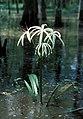 Crinum americanum0014157 (cropped).jpg