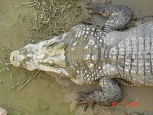 Reptile scale - Scutes on a Crocodile
