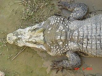Reptile scale - Scutes on a crocodile.