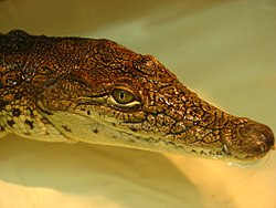 Crocodylus niloticus head.jpg