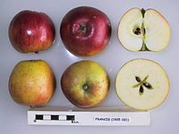 Cross section of Francis (Thorrington), National Fruit Collection (acc. 1925-031).jpg