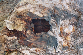 Addlestone - Detail of the Crouch Oak. The tree is hollow, but still alive.