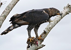 Crowned Hawk-Eagle (Stephanoaetus coronatus) with prey ... (32077394002).jpg