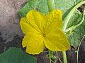 Cucumis sativus cucumber male flower, komkommer mannelijke bloem (2).jpg