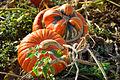 Cucurbita Pumpkins.jpg