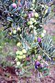 Cultivar Itrana - Cecchina.jpg