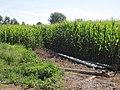 Cultivos en Bercianos.jpg