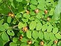 Cup and Saucer Plant Holmskioldia sanguinea by Raju Kasambe DSCF9933 (1) 09.jpg