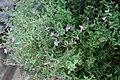 Cuphea rosea Plum Mist 2zz.jpg