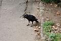 Curious crow@Hibiya park.jpg