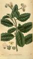 Curtis's Botanical Magazine, Plate 3096 (Volume 58, 1831).png