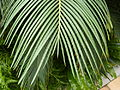 Cycas revoluta (4).JPG