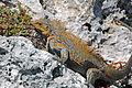 Cyclura rileyi rileyi (San Salvador rock iguana) (Green Cay, offshore from northwestern San Salvador Island, Bahamas) 10 (15421114943).jpg