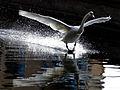Cygnus olor -Grand Canal, Dublin, Ireland -landing-8 (3).jpg
