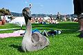 Cygnus olor - Zürich - Enge- Arboretum 2010-08-10 16-14-38.JPG