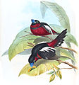 CymbirhynchusMacrorhynchusGould.jpg