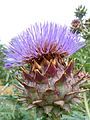 Cynara cardunculus in bloom.JPG