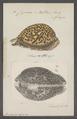 Cypraea rattus - - Print - Iconographia Zoologica - Special Collections University of Amsterdam - UBAINV0274 088 02 0031.tif