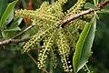 Cyrilla racemiflora 11zz.jpg