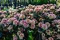 Dülmen, Welte, Rhododendronwald -- 2020 -- 6929.jpg