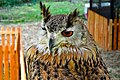 D85 1814Siberian Eagle Owl Photographed by Trisorn Triboon.jpg