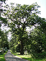 Dab Bartek kolo Unimia (gmina Lobez) pomnik przyrody.jpg