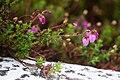Daboecia cantabrica - Irländsk ljung-3623 - Flickr - Ragnhild & Neil Crawford.jpg
