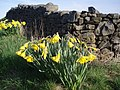 Daffodills in Old Hutton - panoramio.jpg