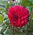 Dahlia Flowers (3).jpg