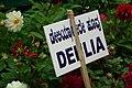 Dahlia at Lalbagh flowershow aug2011 7055.JPG