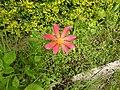 Dahlia coccinea-1-badulla road-nuwara eliya-Sri Lanka.jpg