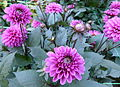 Dahlia du concours international 2012 Parc Floral Paris 13.JPG