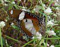 Danaid Eggfly. Hypolimnas misippus. Male. Underside - Flickr - gailhampshire.jpg