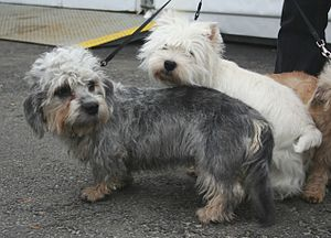 Dandie Dinmont Terrier - A Dandie Dinmont Terrier and the more numerous West Highland White Terrier