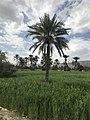 Date Palm, Wheat Fields, Mountains, Clouds, Balochistan, Pakistan.jpg