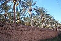 Dattes de Deglet nour à Tolga (Wilaya de Biskra).jpg