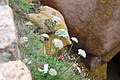 Daucus gummifer-6197.jpg