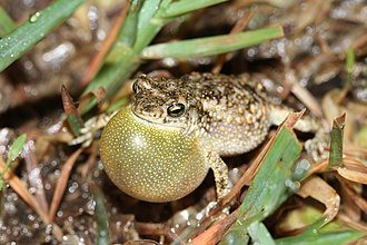 Duttaphrynus scaber - Image: Davidraju D.scaberimg f 10