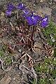 Delphinium menziesii 6394.JPG