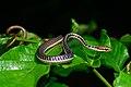 Dendrelaphis subocularis.jpg
