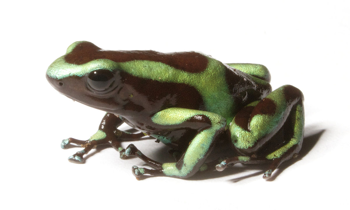 Green and black poison dart frog - Wikipedia Green Frogs Poisonous
