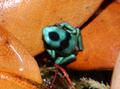 Dendrobates auratus froglet.png