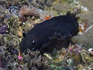 <i>Dendrodoris nigra</i> species of mollusc