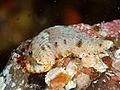 Dermatobranchus semistriatus, Izu.jpg