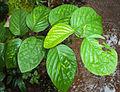 Desmodium gangeticum plant.jpg