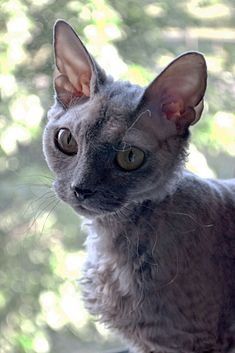 Devon Rex Cassini.jpeg