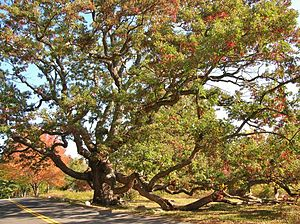 "Granby, Connecticut - ""Dewey Oak"" in Granby, CT"