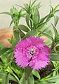 Dianthus mobile image.jpg